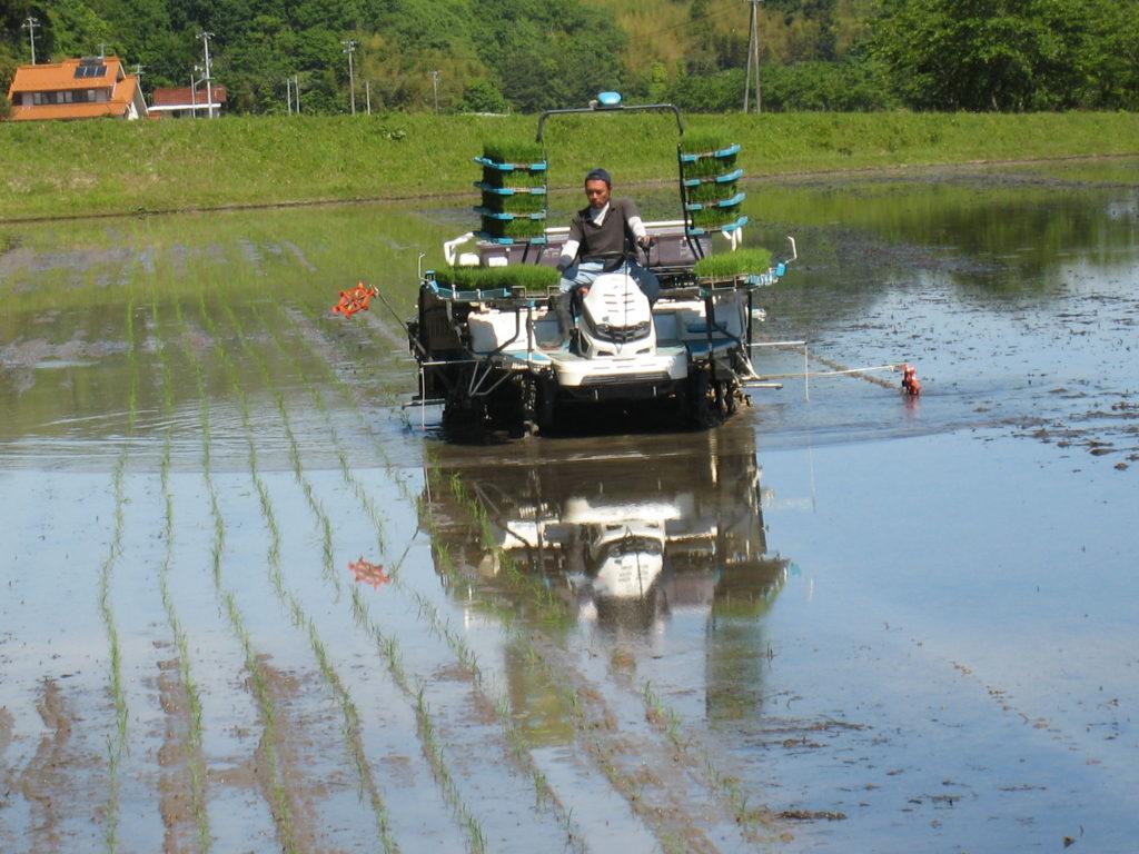 今年最後の田植で品種は「たちあやか」WCS用の種もみ収穫用です